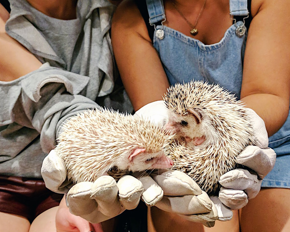 Cuties at Hedgehog Cafe & Shop HARRY (ハリネズミカフェ)