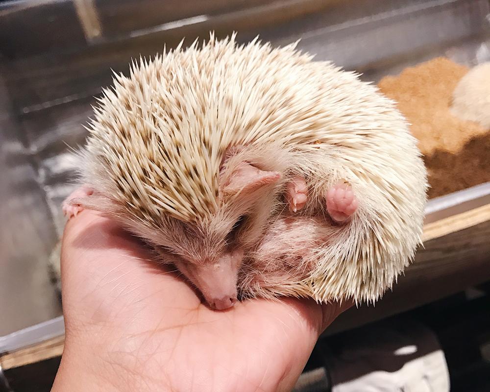 Sleepy cutie at Hedgehog Cafe & Shop HARRY (ハリネズミカフェ)